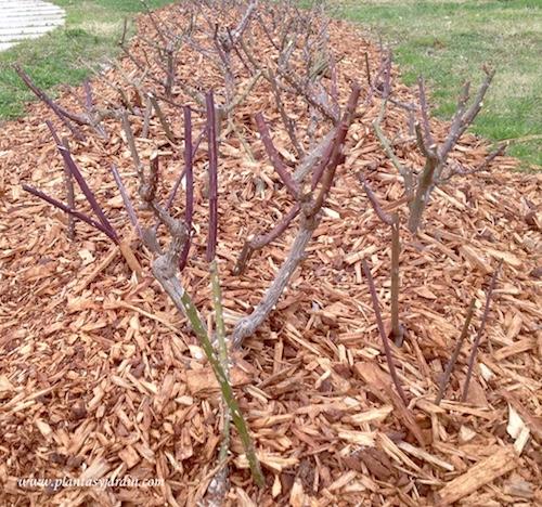 poda del rosal apenas comenzada la primavera para estimular un crecimiento más fuerte
