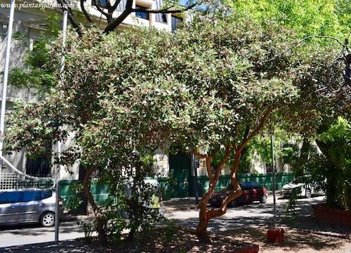 Acca sellowiana-Falso guayabo nativo de Argentina (Misiones), Uruguay, Brasil y Paraguay