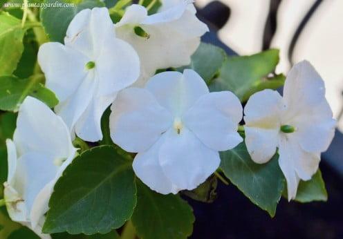 Impatiens walleriana-Alegrias del hogar:casa de flor blanca