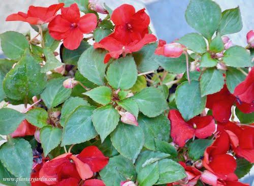 Impatiens walleriana, Alegrias del hogar:casa de flor roja