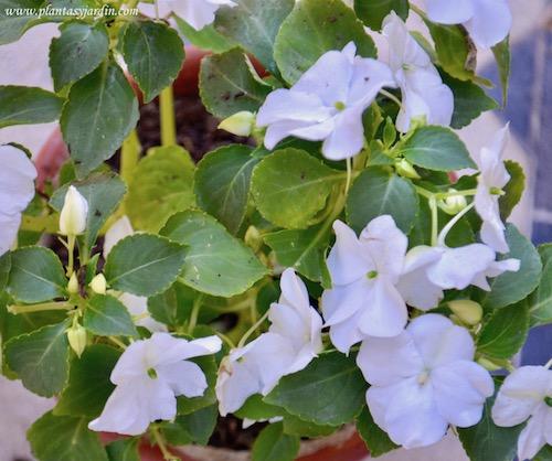 Impatiens walleriana-Alegrias del hogar:casa plantas de estación, bianuales