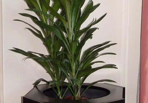 Dracaena robusta