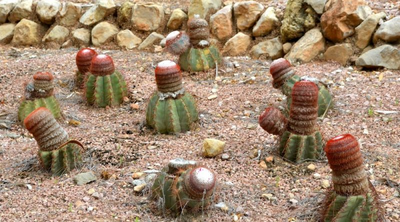 Melocactus azureus nativos de Brasil