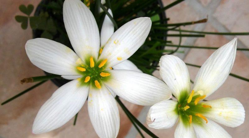 Zephyranthes candida, azucenita del río o lirio de agua