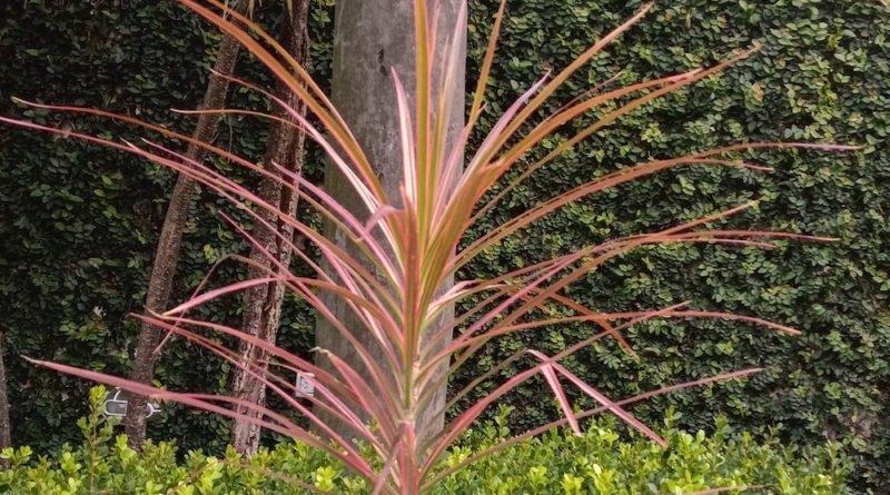 Dracaena marginata Tricolor