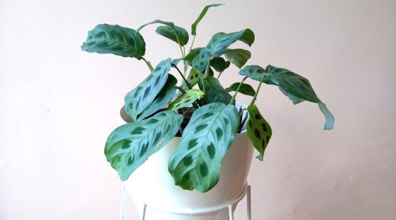 Marantha leuconera Kerchoviana
