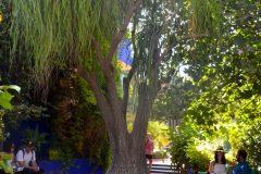 Beucarnea-Pata de Elefante, en el jardin de Majorelle