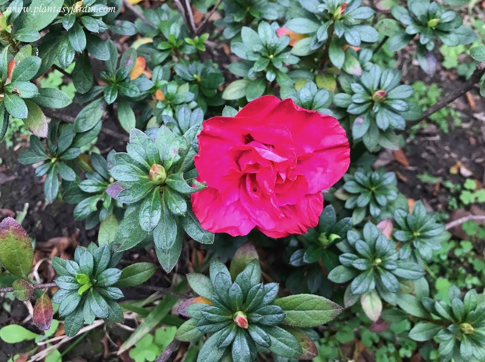 Azalea doble florecida en pleno invierno