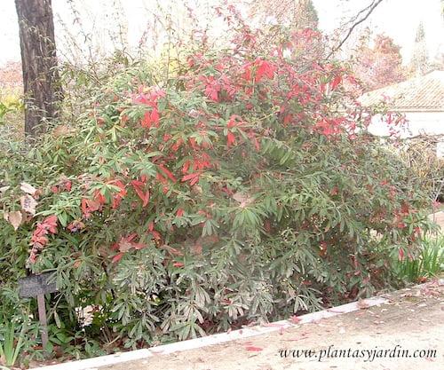 Berberis julianae en otoño