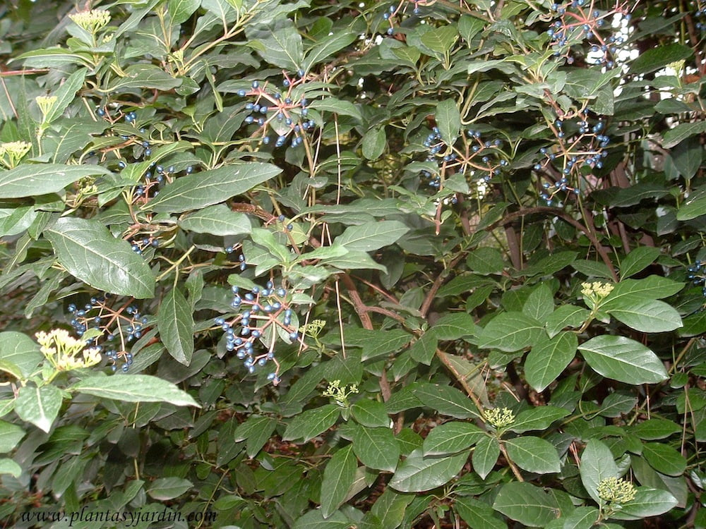 Viburnum tinus-Durillo con frutos en otono
