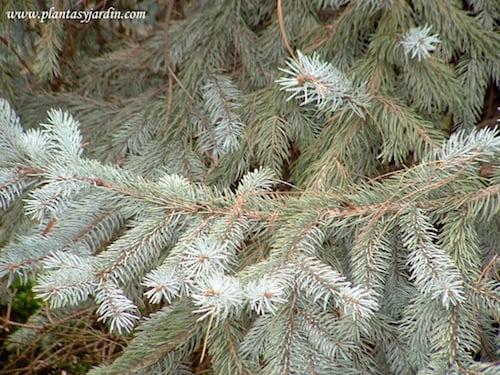 Picea pungens Koster detalle del follaje