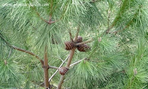 Pinus pinea detalle de conos