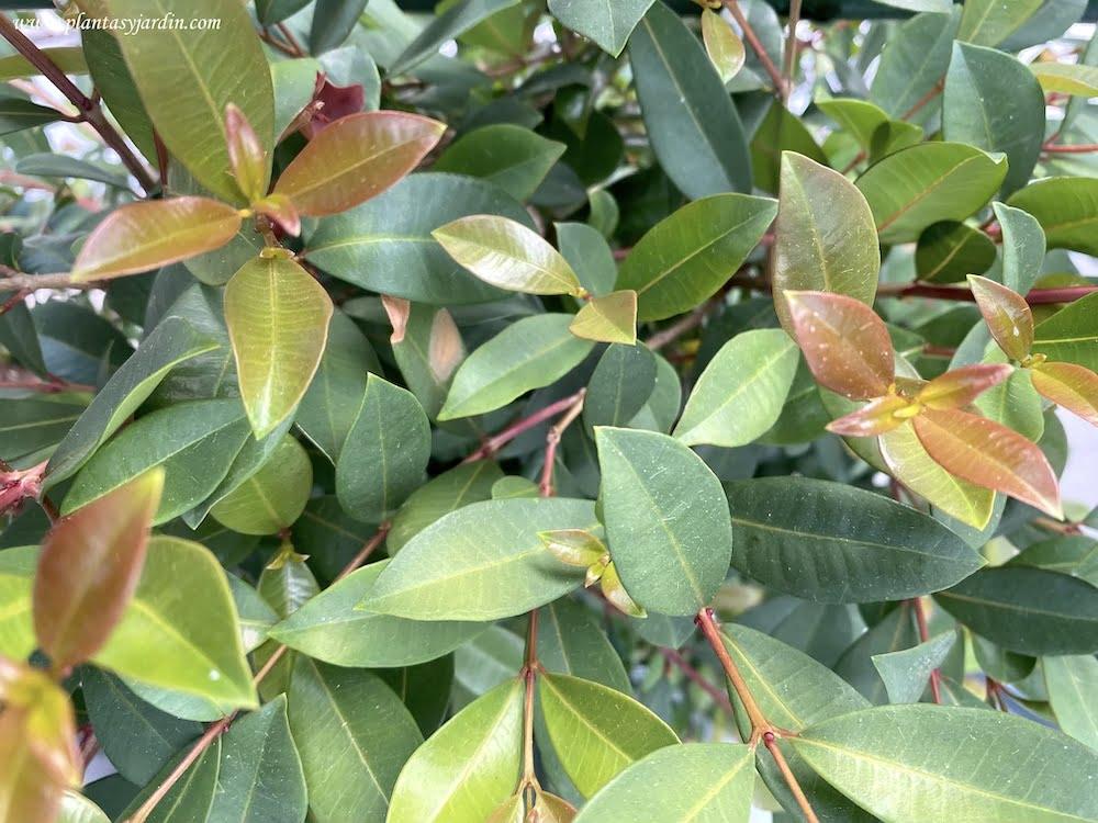 Eugenia, detalle de hojas color bronce o rojizo brillante