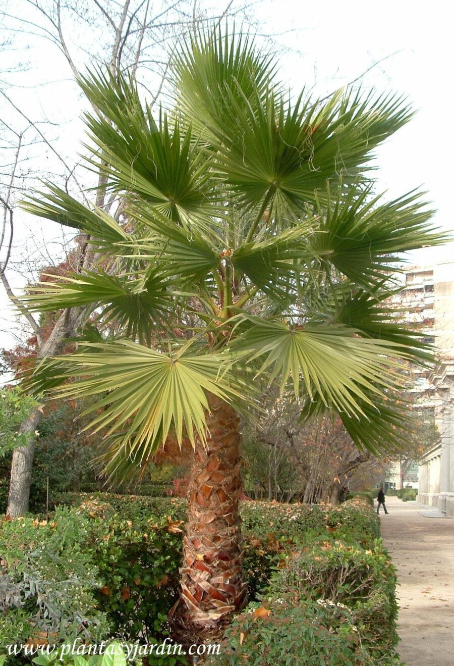 Washingtonia filifera