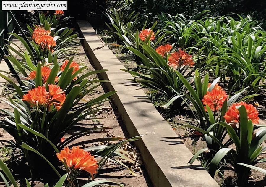 Clivias florecidas en primavera