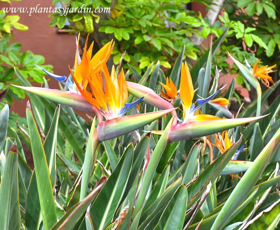 Strelitzia detalle de flor