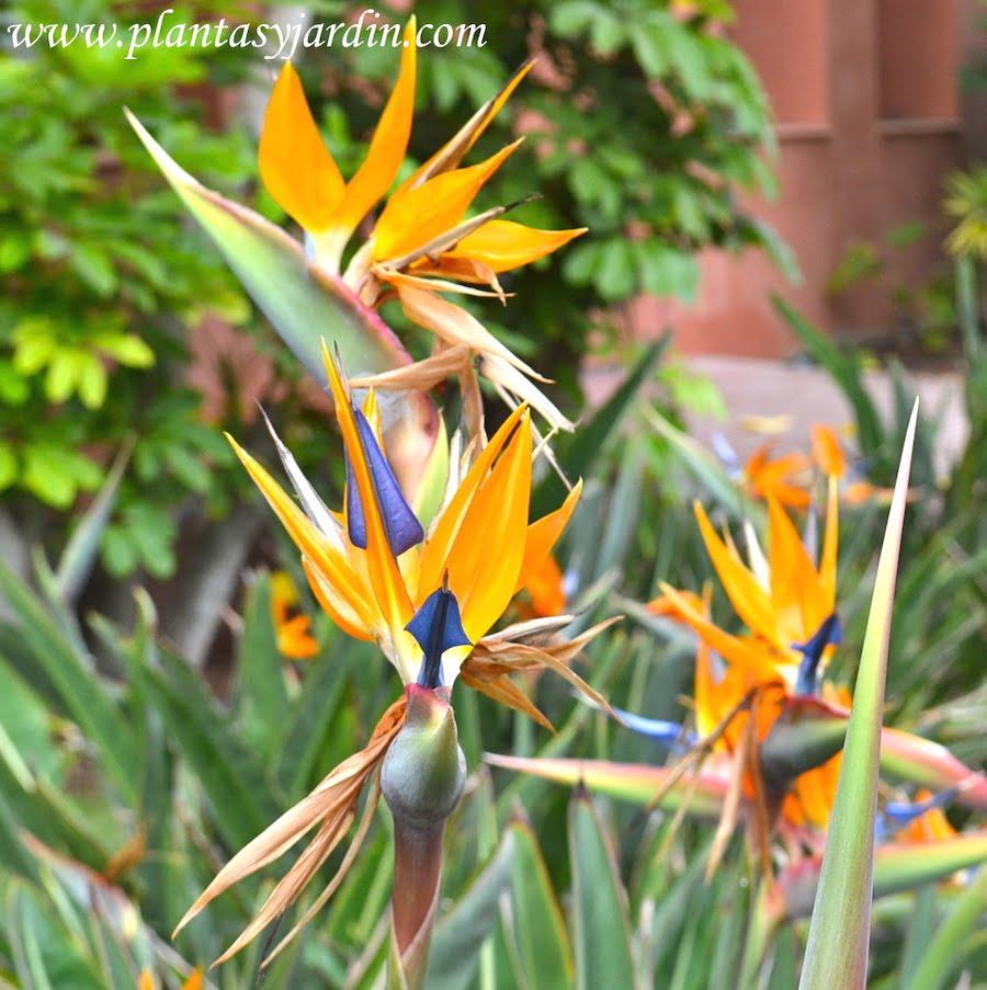 Strelitzias florecidas en pleno verano