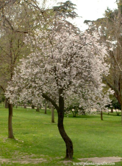 Prunus cerasifera en el Parque del Buen Retiro