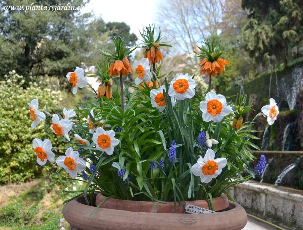 Narcisos, Muscaris y Fritillarias florecidos en primavera en la Avenida de la 100 Fuente Villa D'Este
