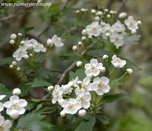 Crataegus monogyna detalle de floracion