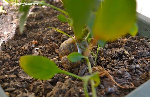 caracol adherido a una planta de Capsicum