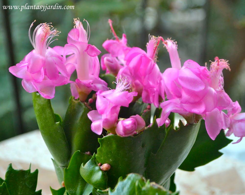 Schlumbergera truncata, cactus de navidad