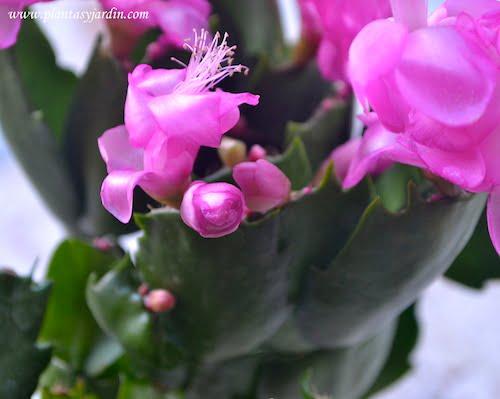 Schlumbergera truncata, cactus de navidad, detalle de flor