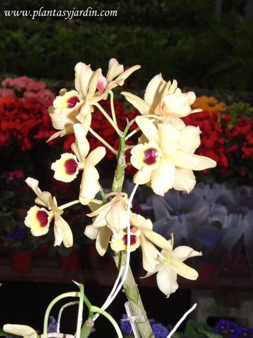 Dendrobium, amarilla
