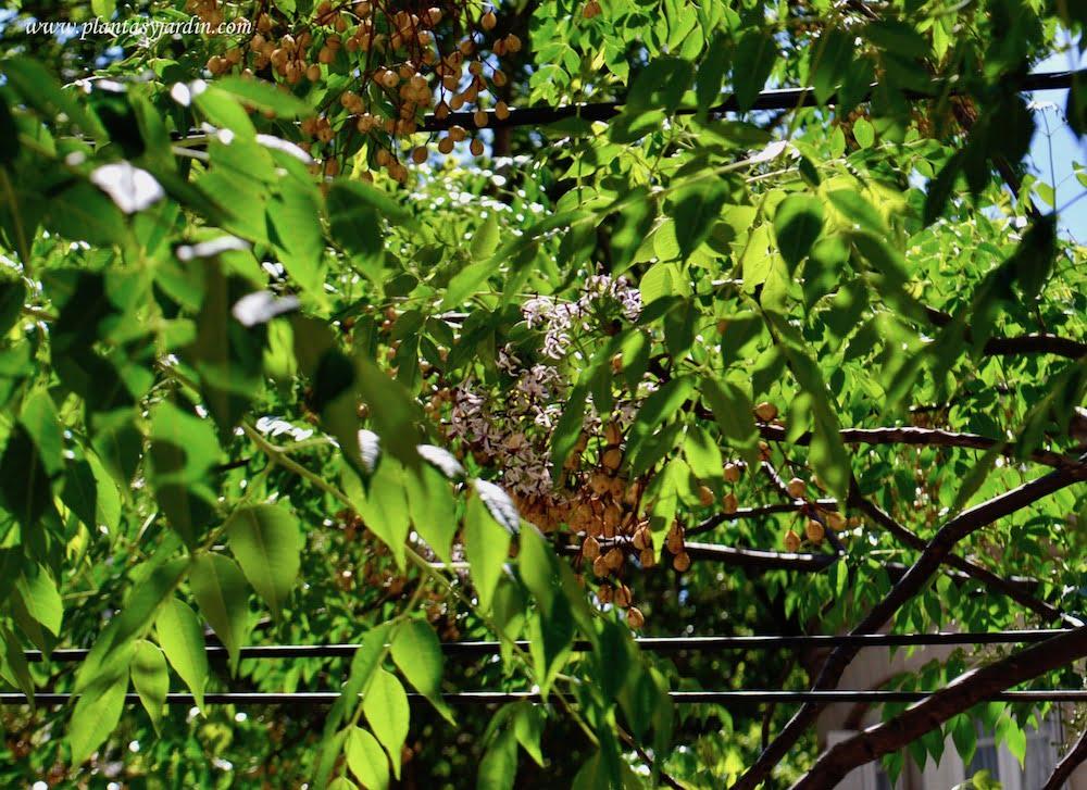 Melia azedarach ramas con hojas, frutos y flores.