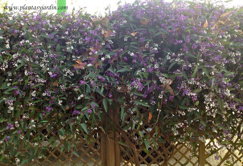 Hardenbergia monophylla flores de color lila y blanca