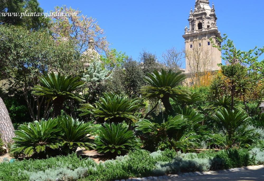 Cycas en el Antic Jardi Botanic de Barcelona