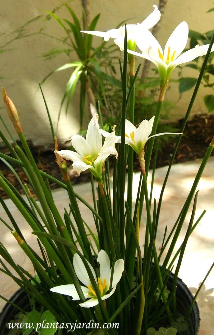Zephyranthes candida, lirio de agua
