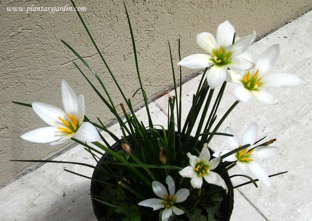 zephyranthes candida en flor