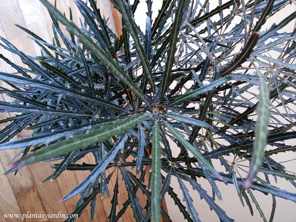 Schefflera elegantissima sinonimo de Aralia elegantissima