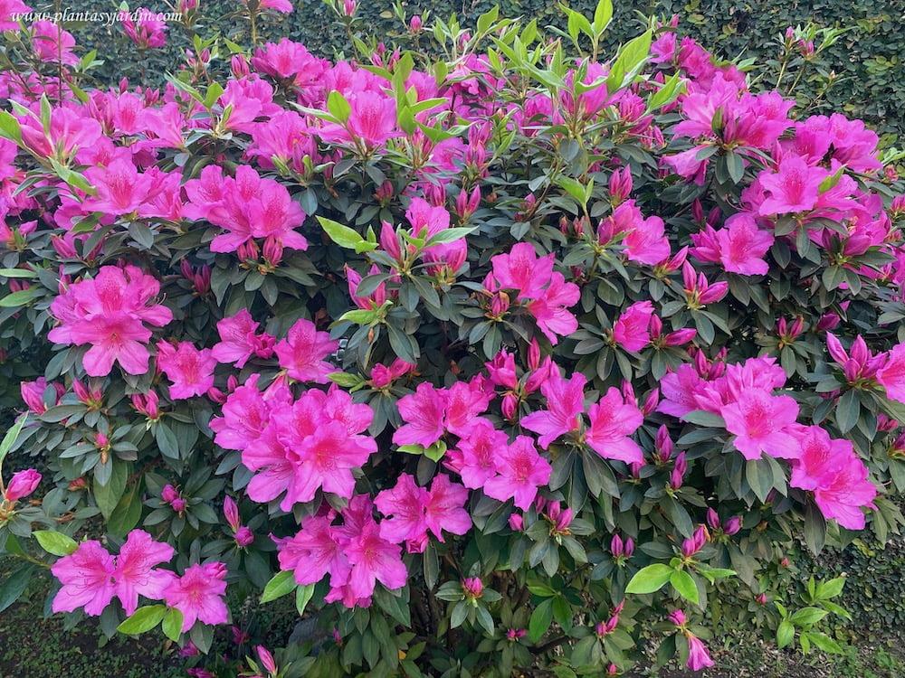 Azalea simple florecida a comienzos de la primavera