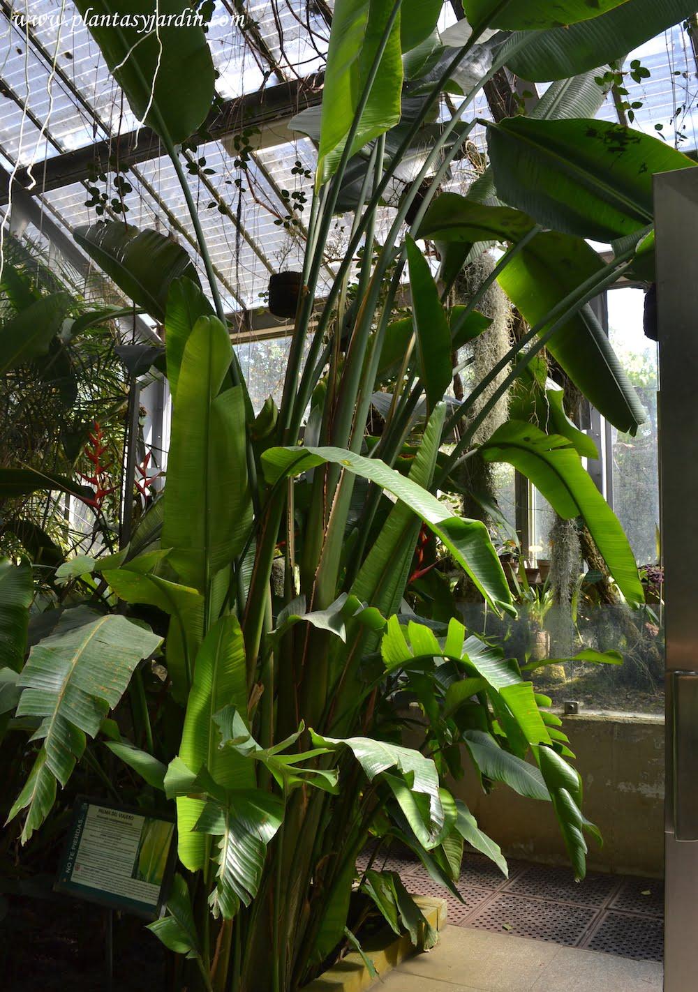 Palma del viajero cultivada dentro del invernadero