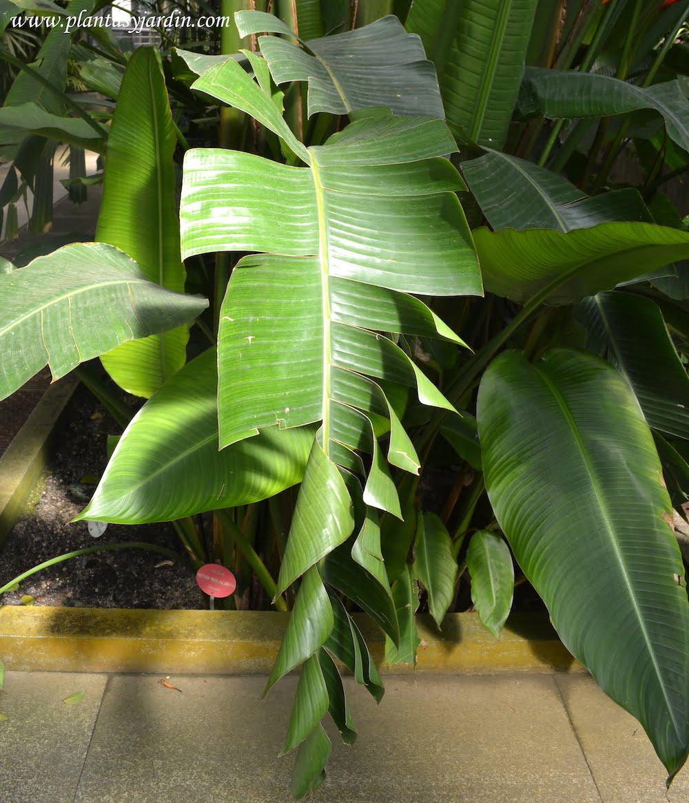 Palma del viajero detalle de hojas