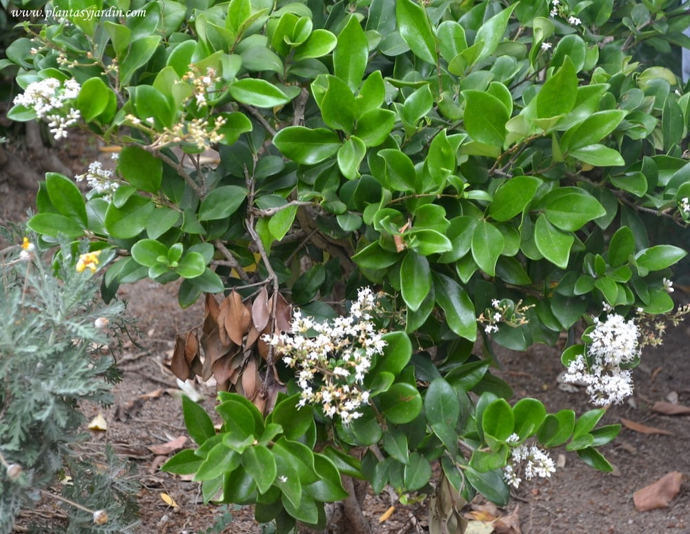 Ligustrum japonicum Rotundifolium familia Oleaceas
