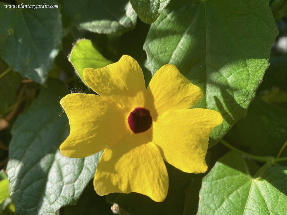 Thunbergia alata detalle de flor
