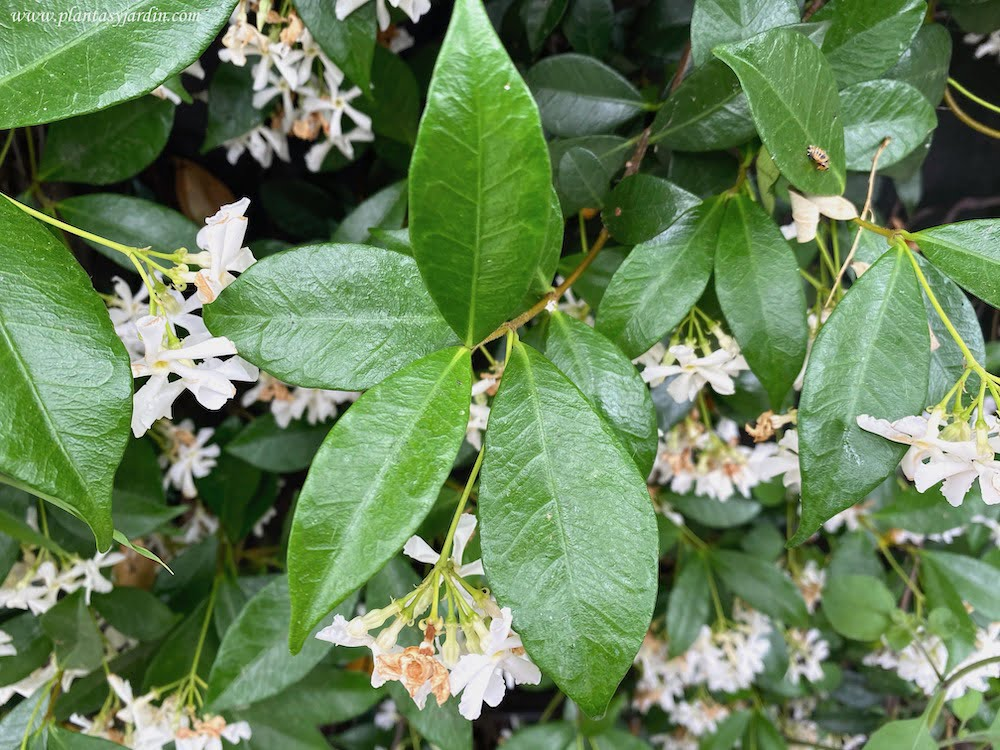 Trachelospermum jasminoides, detalle de hojas opuestas y brillantes