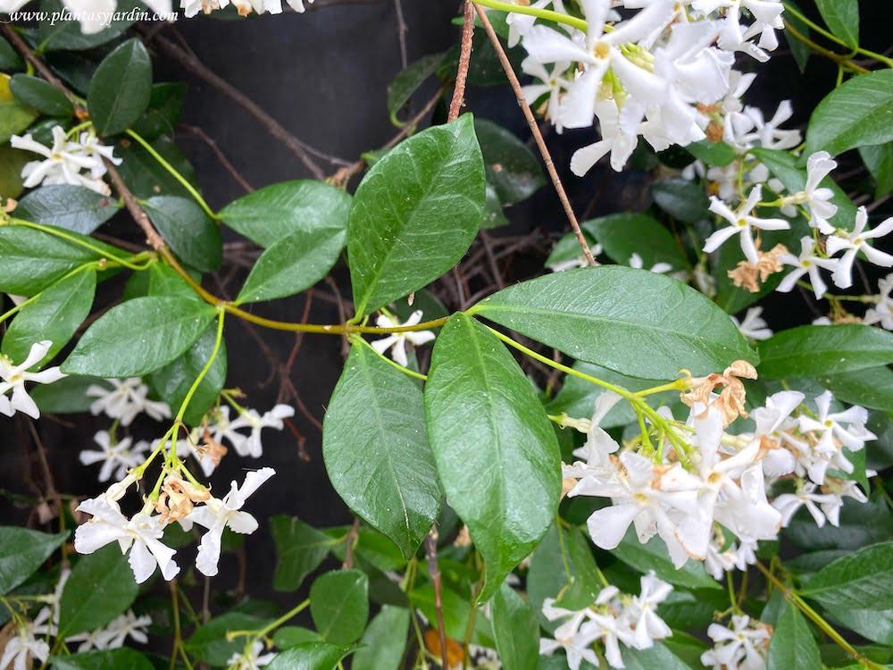 Trachelospermum jasminoides, detalle de largos y volubles tallos